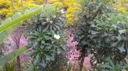 Madagascar rosy